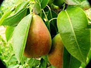 Delicious Orchards pears