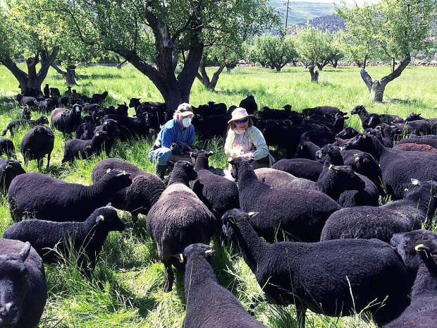 Image of Black Welsh Mountain sheep flock