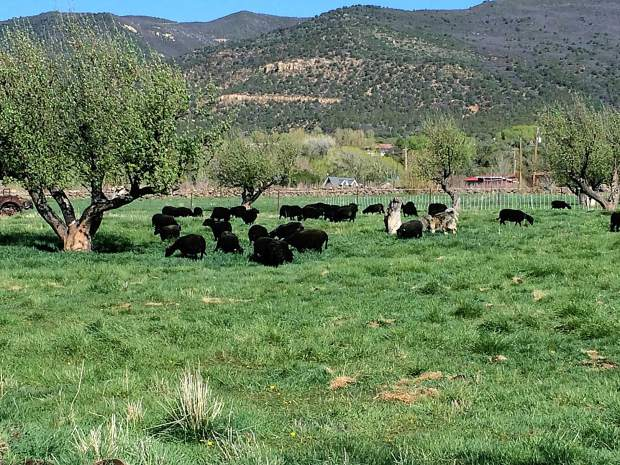 Image of Black Welsh Mountain sheep at Desert Weyr